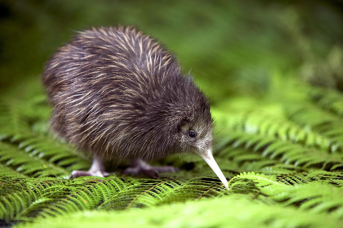 Kiwi-pajaro-de-Nueva-Zelanda-