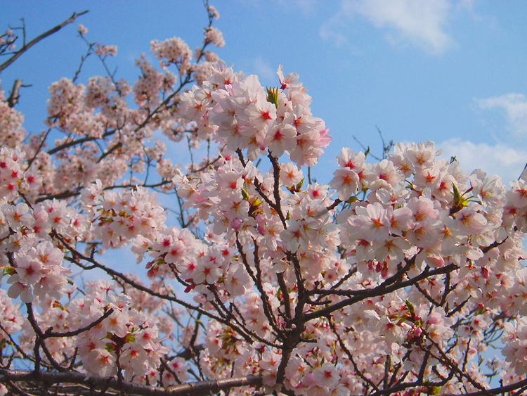 El color rosáceo de los cerezos en flor o sakura digno de contemplarse con detalle y pausa