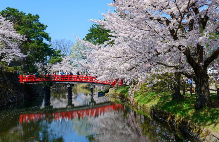 Explosión de la primavera con la floración de los cerezos
